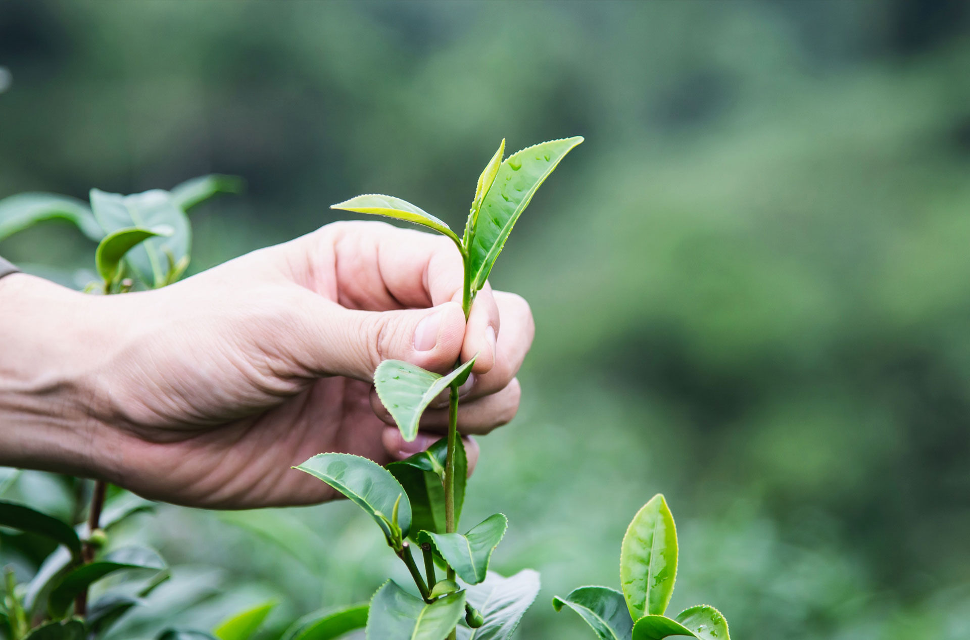 Risultato immagini per green tea  plants